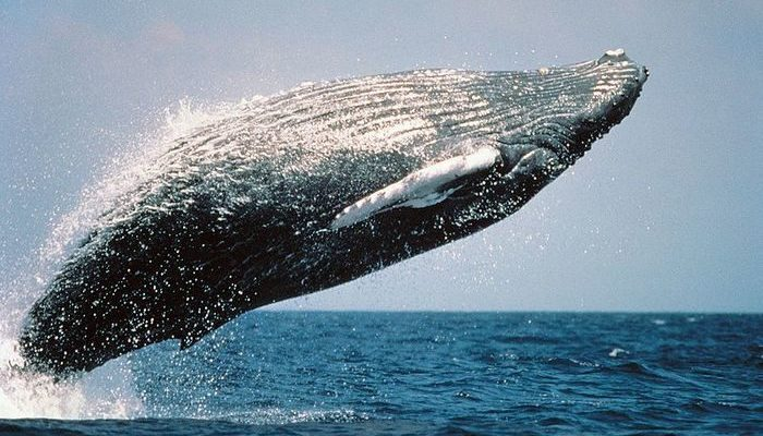 (Видео) 28 часов спасали 7-тонного горбатого кита, выброшенного на аргентинское побережье