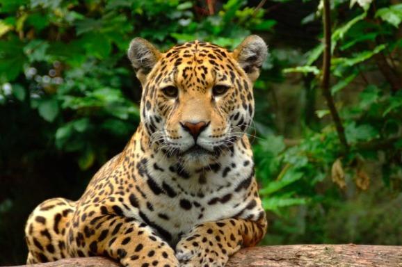 Ягуаров, находящихся под угрозой исчезновения, убивают для нужд традиционной китайской медицины