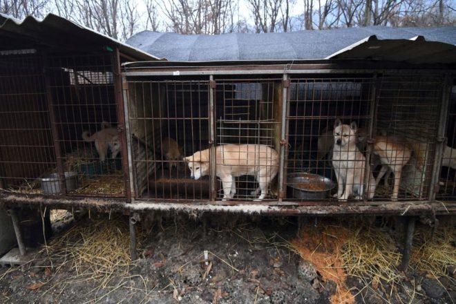 Чтобы закрыть «ужасную собачью мясную ферму» в Южной Корее, известный телеведущий Саймон Коуэлл пожертвовал 32 610 $