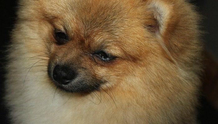 80 собак породы шпиц забрали приставы у заводчицы за долги по ЖКХ. Этим они спасли животных от неминуемой смерти