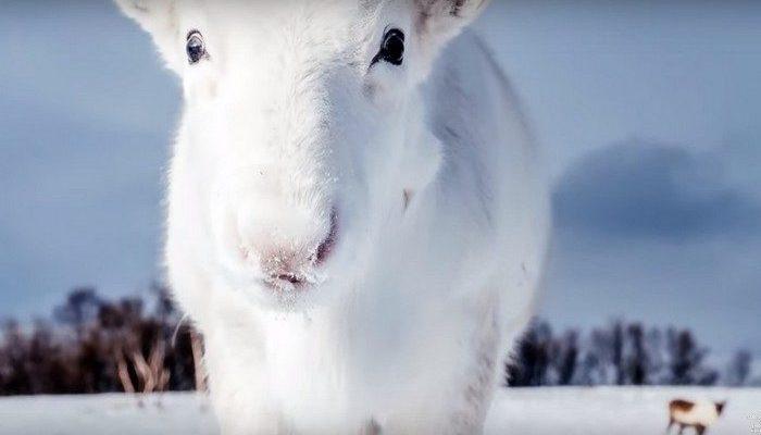 Фотограф заснял редкого белого оленя во время путешествия. «Он почти исчез на снегу!»