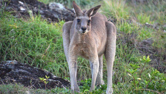 Бывший футболист обнаружил на лужайке у своего дома огромного кенгуру. Он пришёл за помощью!