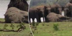300 скорбящих слонов пришли проститься с погибшим вожаком стада