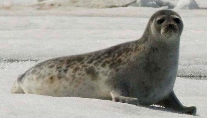 Нерпа потеряла лунку на льду Байкала. Когда её стали атаковать вороны, на помощь пришли спасатели!