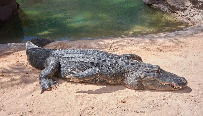 Более 500 индийцев пришли на похороны 130-летнего крокодила. Он был самым дружелюбным в мире