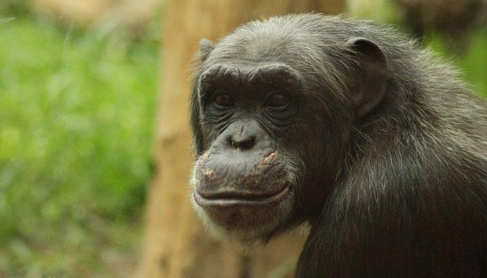 (Видео) В китайском зоопарке обезьяна взялась за метлу и стала подметать свою клетку!