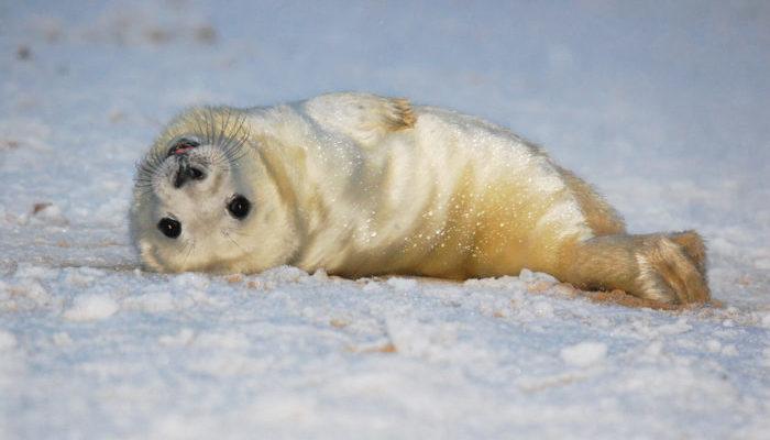 Собаки напали на новорождённого тюленя в порту. Спасли малыша от смерти моряки!