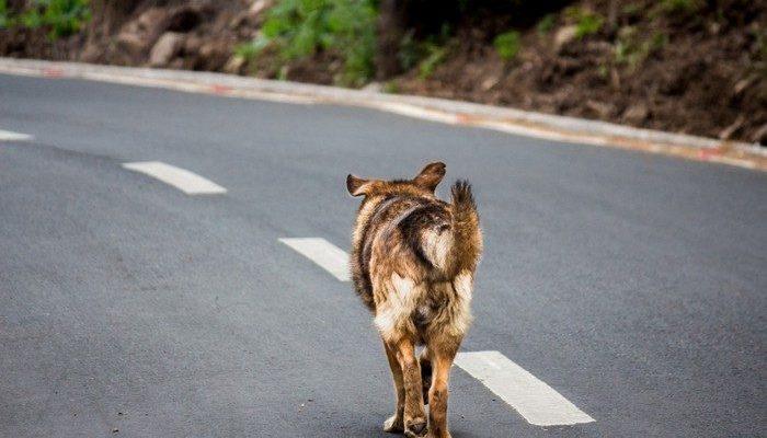 (Видео) Челябинский инспектор ДПС растрогал пользователей соцсетей. Он перекрыл движение, чтобы хромой пёс перешёл дорогу!