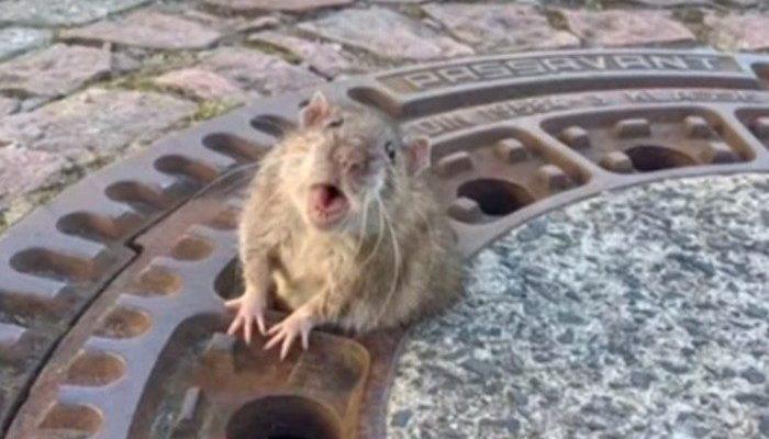 (Видео) Крыса так отъелась за зиму, что застряла в канализационном люке. Спасать её приехала целая команда пожарных