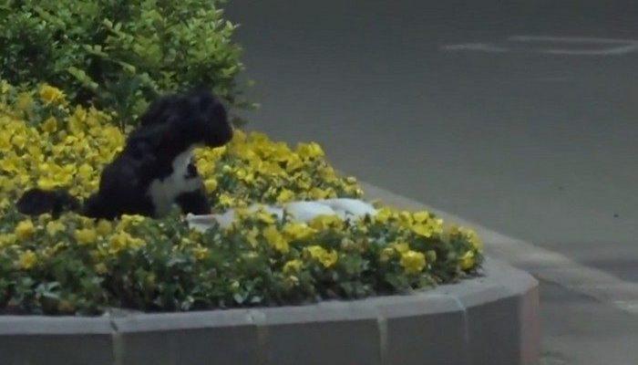 (Видео) Преданно охранявший тело погибшего друга пёс растрогал пользователей до слёз!