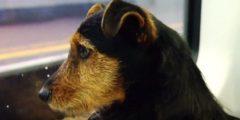 Пёс сел в пригородный поезд и доехал до Дублина. Вся страна искала его хозяина!