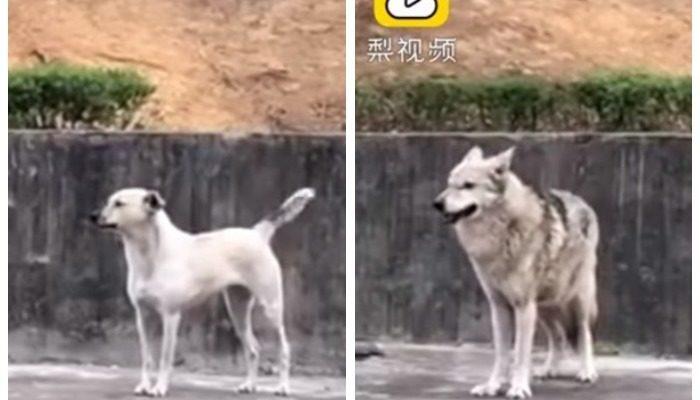 Посетителей зоопарка в Китае возмутила надпись «Волк» на клетке, где бегала собака. И это история любви, а не обмана!