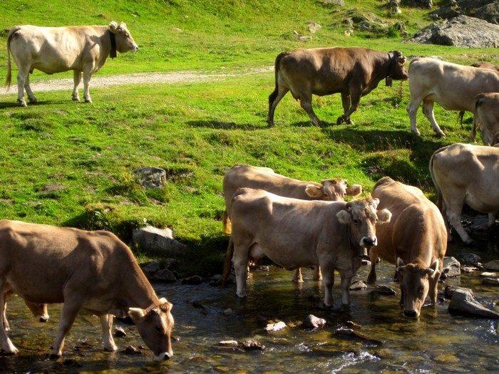 180 одичавших коров хотели отправить на бойню. Но зоозащитники отстояли рогатых и те доживут свой век!