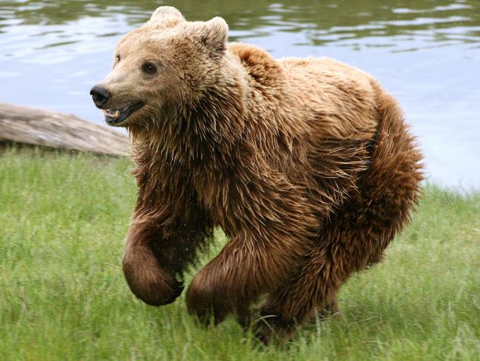 Мужчина выжил в схватке с медведем на Сахалине