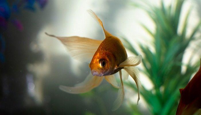 Золотая рыбка потеряла хвостик, но у неё осталась хозяйка, которая не бросила любимицу в беде!