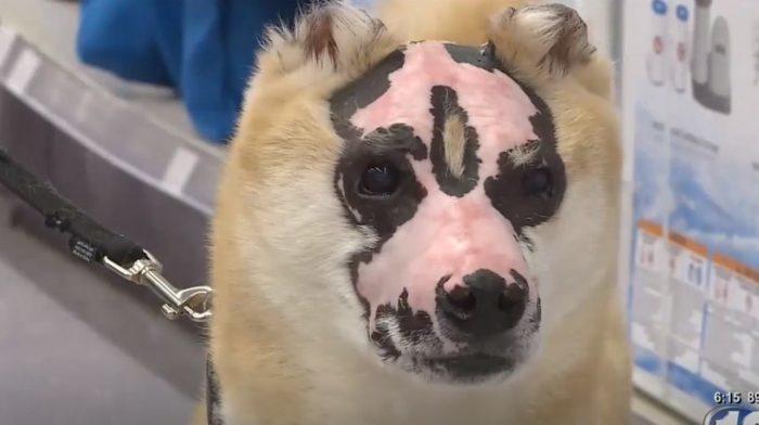 Пёс выжил после страшного пожара, и теперь его шрамы помогают людям (как ни странно)