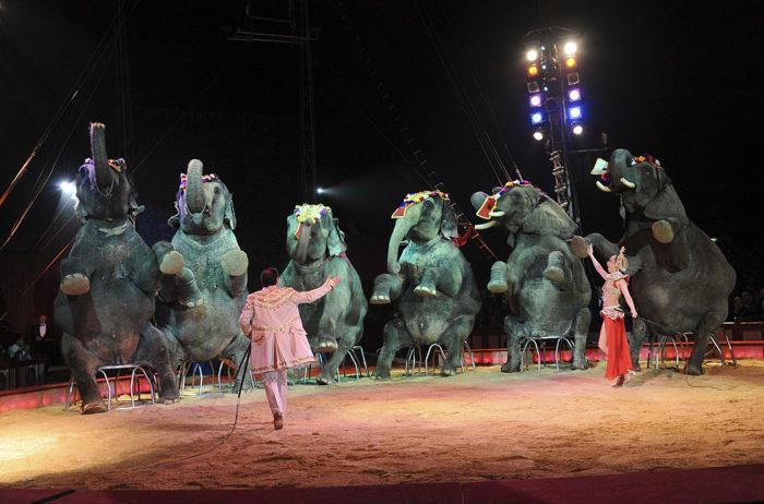 $ 1,6 млн потратила Дания, чтобы отправить на пенсию последних цирковых слонов (а заодно и верблюда, потому что без него никак)