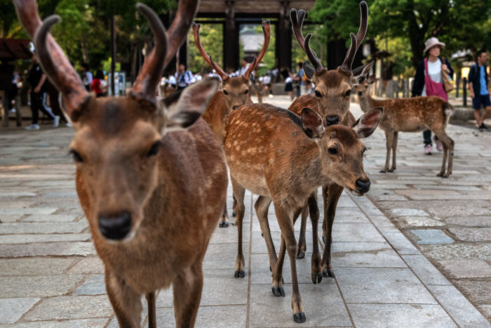 Знаменитые ручные олени японского парка Нара погибают из-за туристов?