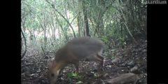 Он жив! Серебряноспинный оленёк попал на камеру во Вьетнаме