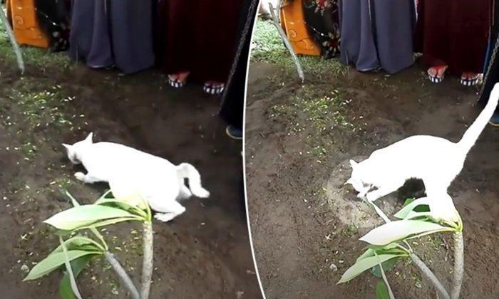 (Видео) Белый кот неожиданно появился на кладбище и начал разрывать могилу на глазах у родных умершего