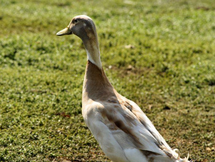 Фермер не вынес грусти своей утки по погибшему партнёру и написал «серьёзное» объявление