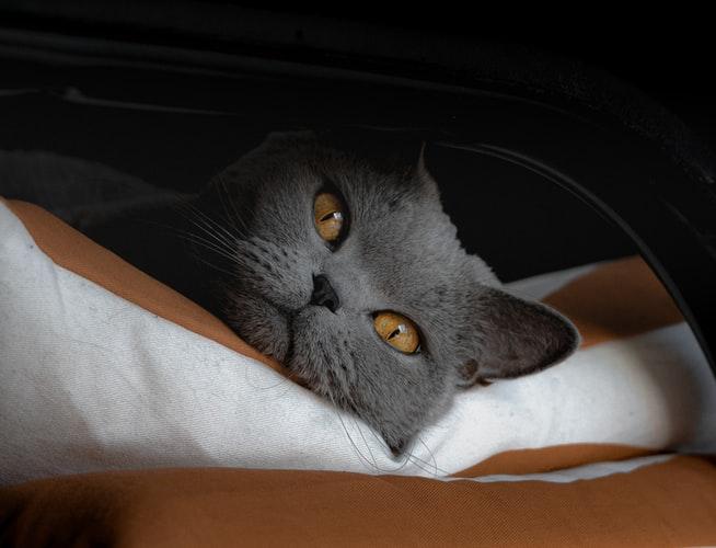 (Видео) Кошка Дымка отморозила лапы, уши и хвост. Но добрые люди сделали ей новые лапки!