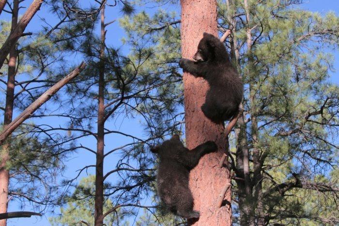 (Видео) Двух новорождённых медвежат в Карелии бросила мама. Пришлось людям брать дело в свои руки