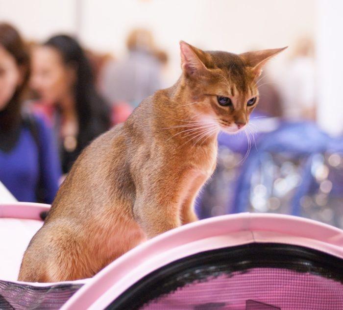 16 замученных кошек с передвижной выставки спасли псковские зоозащитники. Помогли новые статьи закона