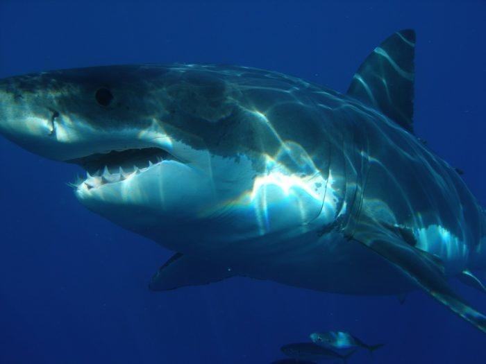 Спасти купающихся от акулы помог квадрокоптер