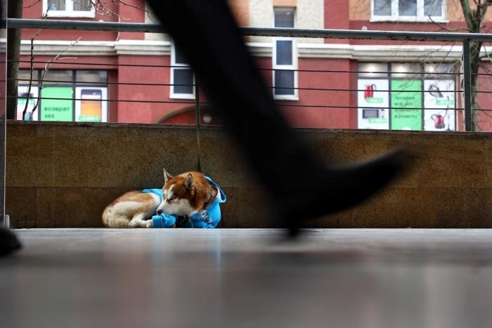Хаски в голубом свитере целыми днями сидит у торгового центра. И он вовсе не бездомный!