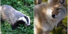 (Видео) Камера запечатлела редкий случай: дружбу между койотом и барсуком!