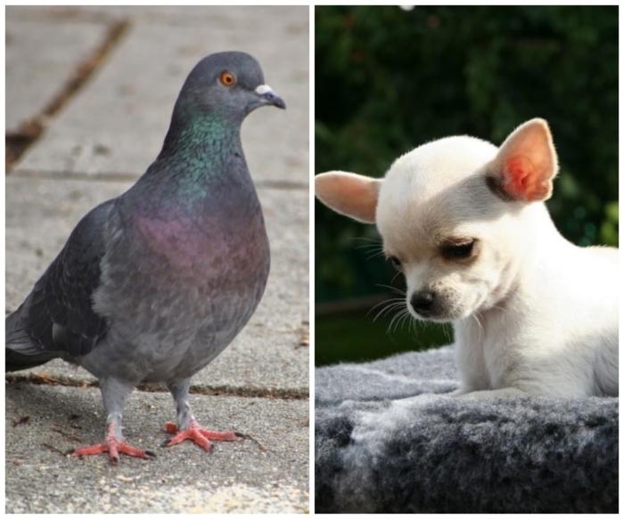(Видео) Щенок не может ходить, а голубь — летать. Их дружба покорила сердца людей всего мира