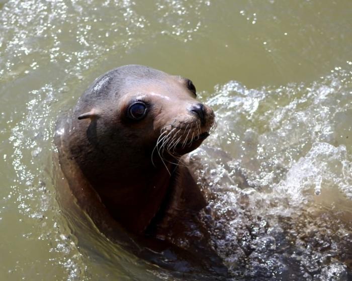 (Видео) Учёные удивлены, что тюлени умеют громко хлопать под водой