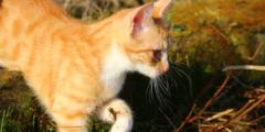 (Видео) Кот несёт в зубах упаковку фрикаделек. И даже не пытается откусить кусочек!