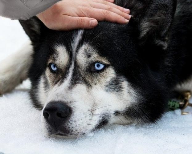 (Видео) Собака, которую не переспорить! Хозяйка уже смирилась, что последнее слово пёс оставляет за собой