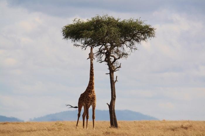 Машину журналистки остановил жираф. Ехать дальше она не могла, потому что увидела слёзы в его глазах
