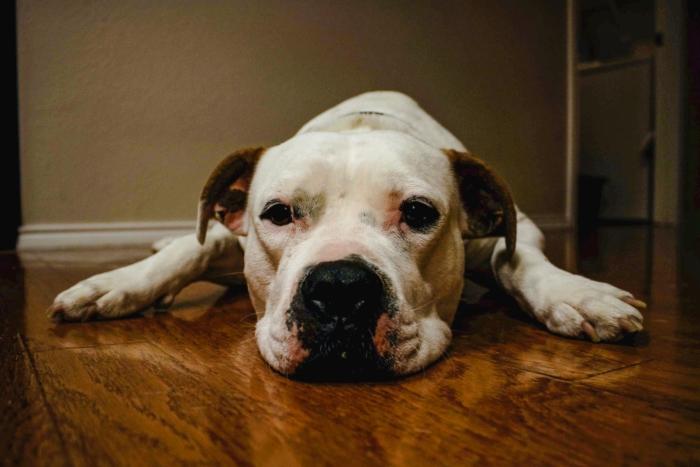 Беременная 10 щенками собака спасла хозяев от кобры, заплатив самую высокую цену