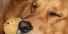 Одноухого ретривера прозвали собакой-единорогом. И с этим трудно не согласиться!