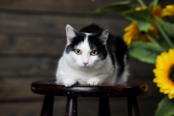 чёрно-белая кошка лежит на табурете