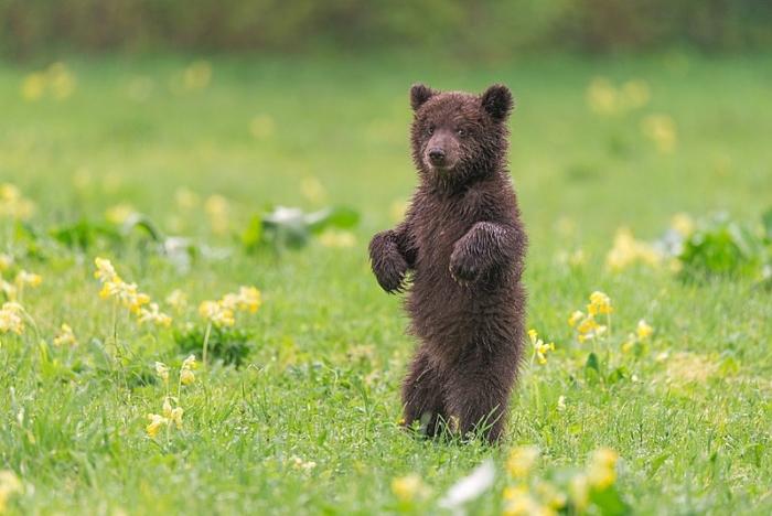 Голодный медвежонок вышел к людям и не прогадал!