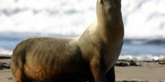 (Видео) Морские львы «захватили» лодку. Но она им «немного» не по размеру