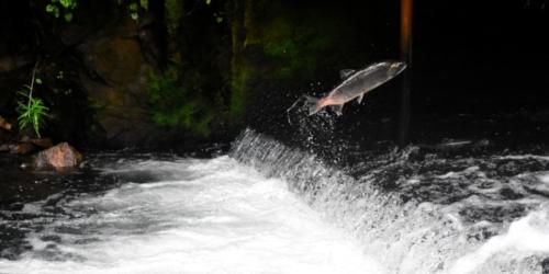 (Видео) В Китае рыбы покинули свой водоём и пошли искать новый дом. Пешком!