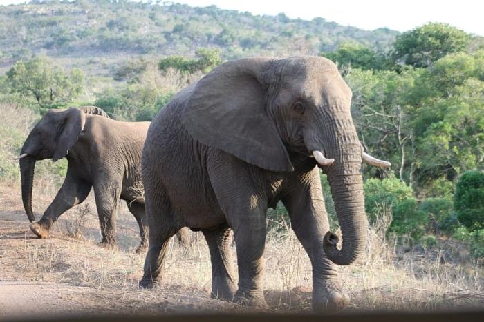 Пандемия помогла таиландским слонам попасть домой!