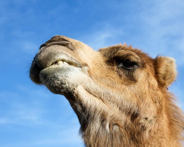 8 часов спасали циркового верблюда, попавшего в ДТП на 45-градусном морозе