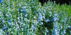 Польза розмарина: прекрасный аромат и уникальные эффекты