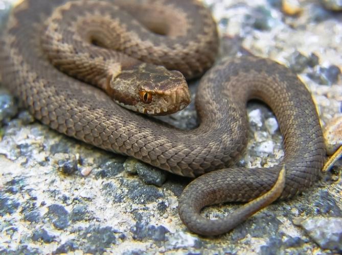 (Видео) Змея переходит через дорогу и даже не пытается извиваться. Ведь для неё это нормально!