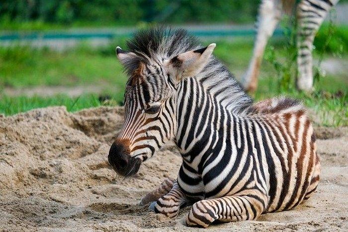 (Фото) Смотрители заповедника надевают полосатую куртку, когда идут к маленькой осиротевшей зебре. И это работает!