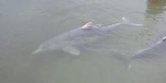 Дельфин любит внимание и рыбку. И он придумал, как регулярно получать всё это от людей!