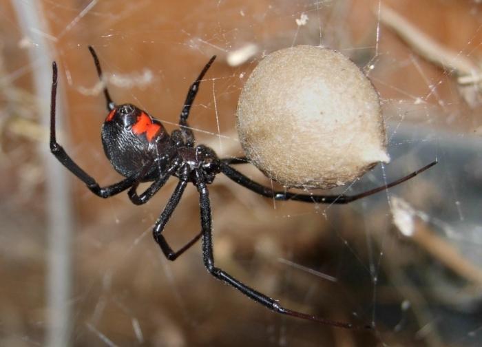 Детям так хотелось стать супергероями, что они решили использовать паука. Это была «чёрная вдова»