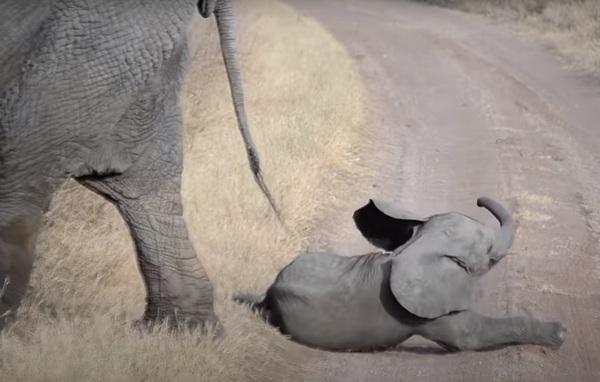 (Видео) Слонята умеют капризничать? Да! Точь-в-точь как 3-летние дети!